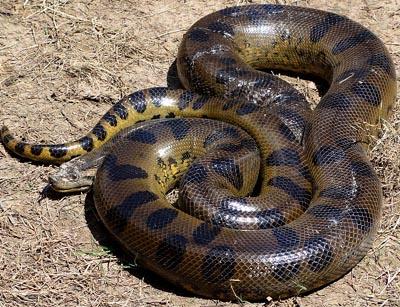 The Unmuseum World S Biggest Snakes